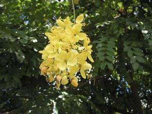 golden_shower_tree