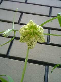 バイモユリ開花